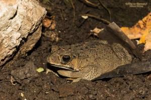 amphibien-Bufo melanostictus