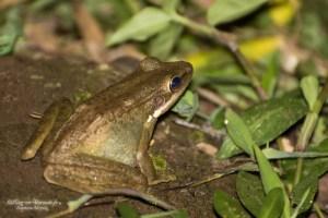 amphibien-Rana chalconota
