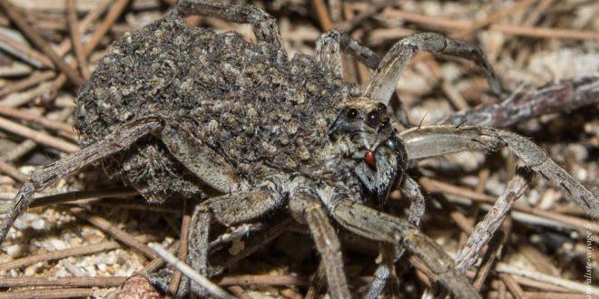 araignée australie lycosidae