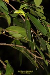 lézard-Bronchocela jubata