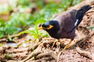 oiseau-Acridotheres tristis
