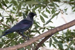 oiseau-Corvus splendens