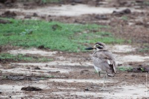 oiseau-Esacus recurvirostris
