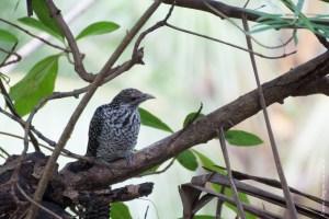 oiseau-Eudynamys scolopacea
