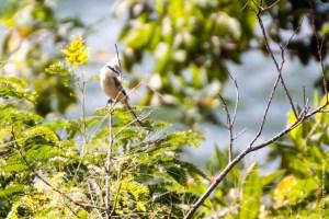 oiseau-Lanius schach