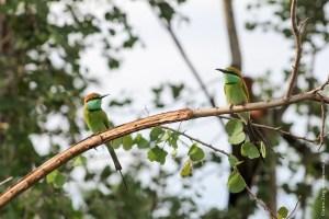 oiseau-Merops orientalis