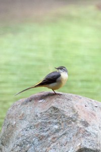 oiseau-Motacilla cinerea