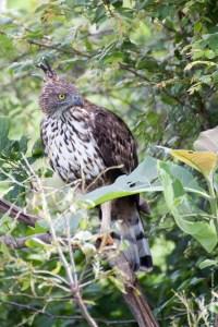 oiseau-Nisaetus cirrhatus