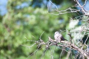 oiseau-Spilopelia chinensis