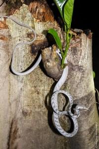 reptile-Ahaetulla prasina