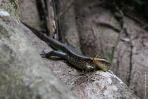 reptile-Eutropis multifasciata
