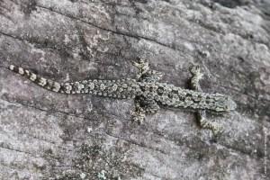 reptile-Hemidactylus platyurus