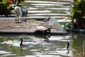reptile-Melanochelys trijuga thermalis