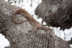 reptile-Varanus bengalensis