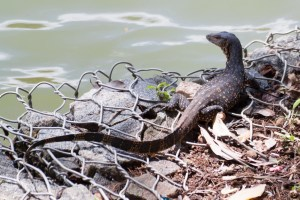 reptile-Varanus salvator