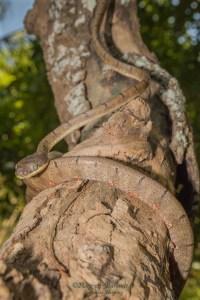 serpent-Boiga drapiezii