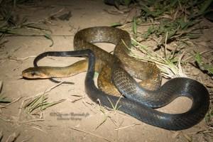 serpent-Coelognathus flavolineatus