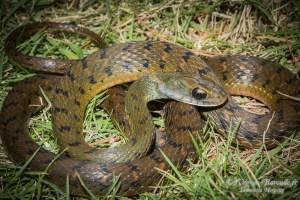 serpent-Rhabdophis chrysargos