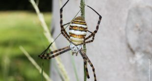 araignée australie argiope
