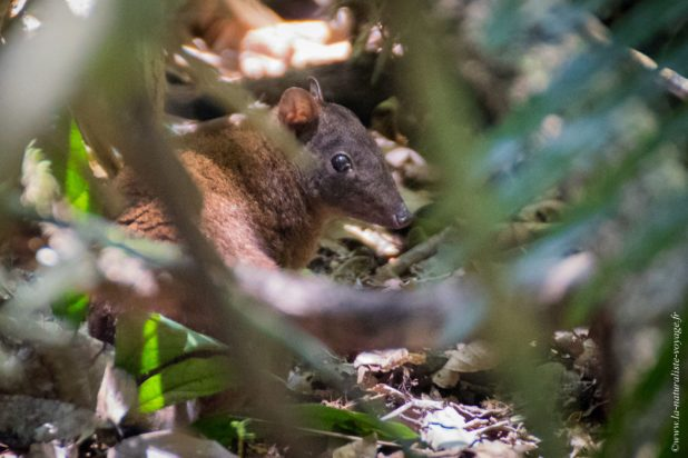Hypsiprymnodon moschatus rainforest queensland