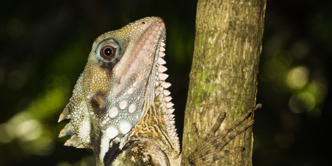 Australie lézard dragon reptile