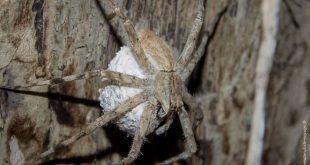 araignée australie pisauridae