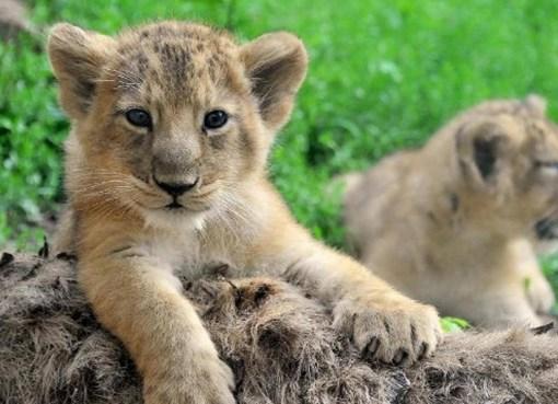 i cuccioli della savana
