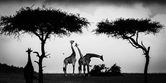Photo par Laurent Baheux, giraffa sur le blog La retouche photo