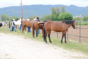 La preparazione dei cavalli per una passeggiata