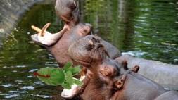 ©PHOTOPQR/VOIX DU NORD - le 09/07/2012 : Page C'est l'Ete : balade dans l'avesnois. Les hippopotames au zoo de Maubeuge. photo Stephane MORTAGNE La Voix du Nord (MaxPPP TagID: maxnewsworldtwo318782.jpg) [Photo via MaxPPP]
