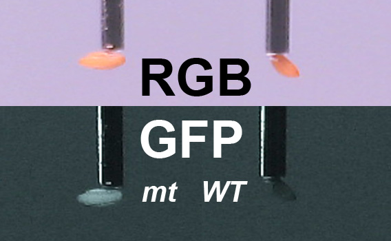 GFP analysis