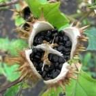 Lo Stramonio- pianta magica tossica