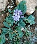 mandragora pianta medicinae e magica tossica