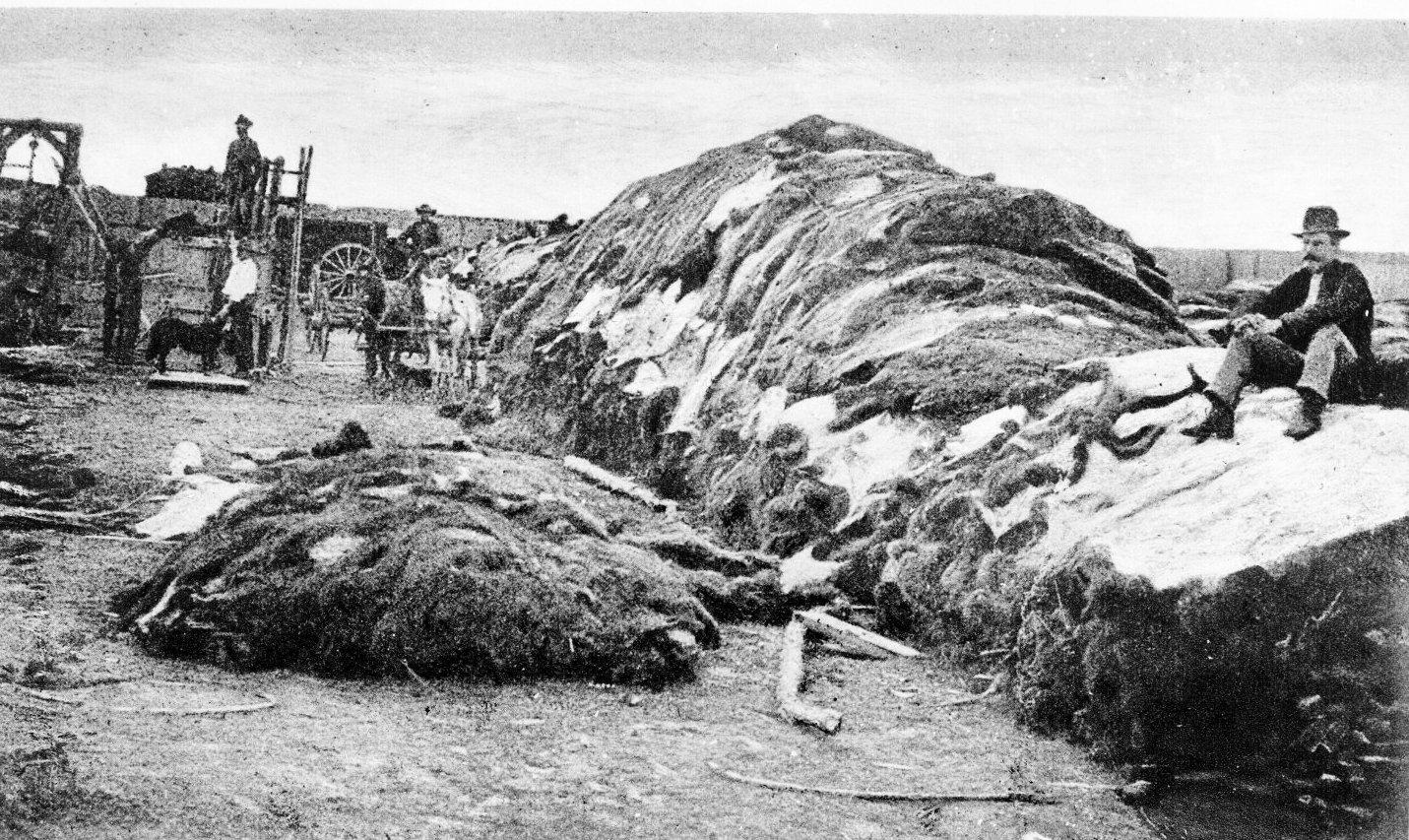 fourrure bison massacre Lextermination du bison américain  histoire