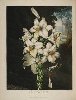 temple-fleur-illustration-Robert-Thornton-28
