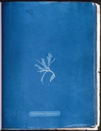 cyanotype-anna-atkins-algue-a03