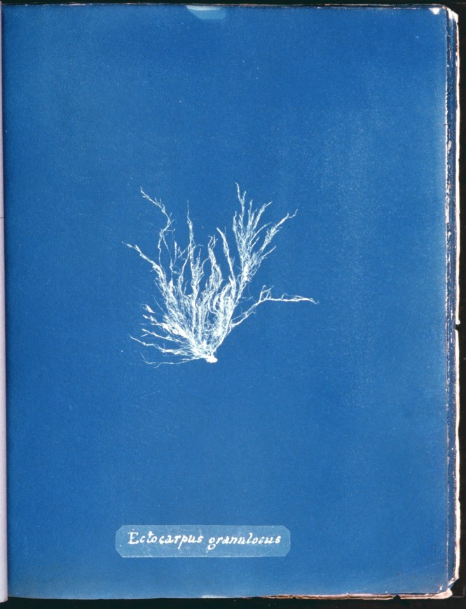cyanotype-anna-atkins-algue-a04