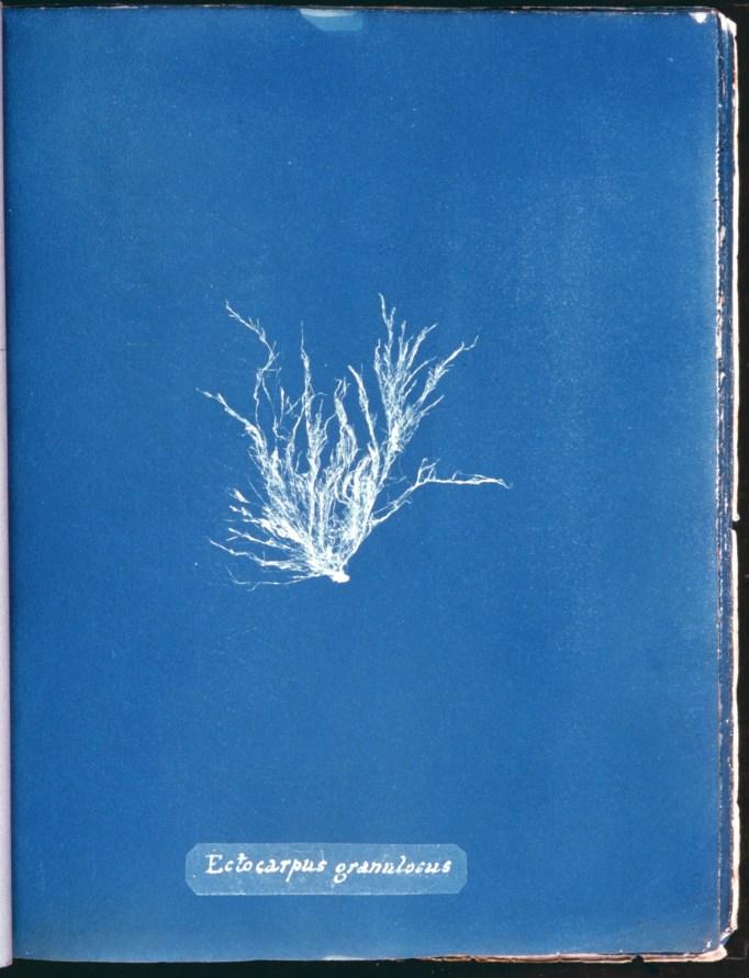 cyanotype-anna-atkins-algue-a04