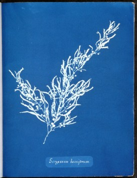 cyanotype-anna-atkins-algue-a05