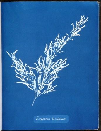 cyanotype-anna-atkins-algue-a05