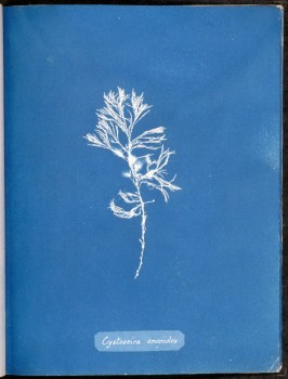 cyanotype-anna-atkins-algue-a06