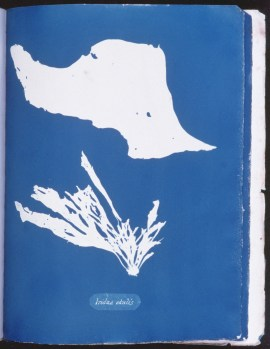 cyanotype-anna-atkins-algue-a11