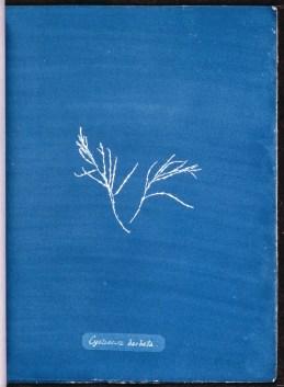 cyanotype-anna-atkins-algue-a16