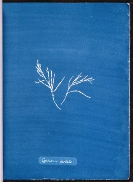 cyanotype-anna-atkins-algue-a16