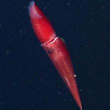 L'étrange regard des calamars fraise