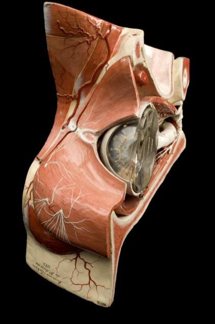modele-anatomique-docteur-Auzoux-1820-15