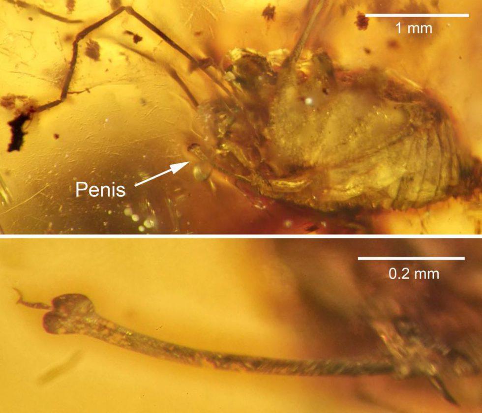 Le pénis en érection d'une araignée - 99 millions - Birmanie