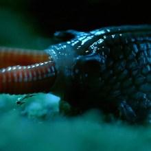 L'escargot géant qui engloutit des vers de terre