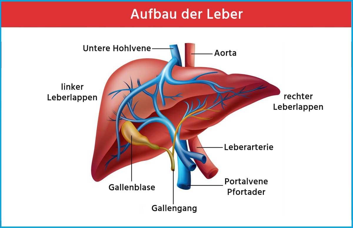 Aufbau der Leber