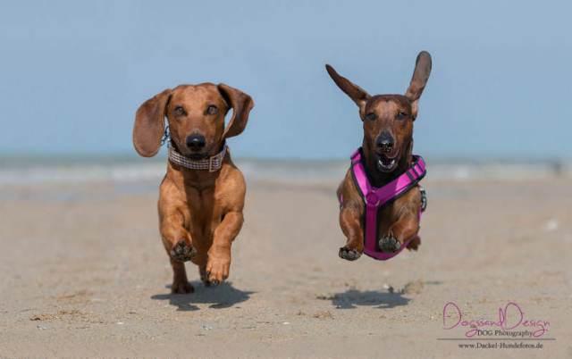 Honden aan see Normandie